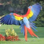 Scarlet Macaw Parrot Parakeet5