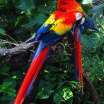 Scarlet Macaw Parrot Parakeet6