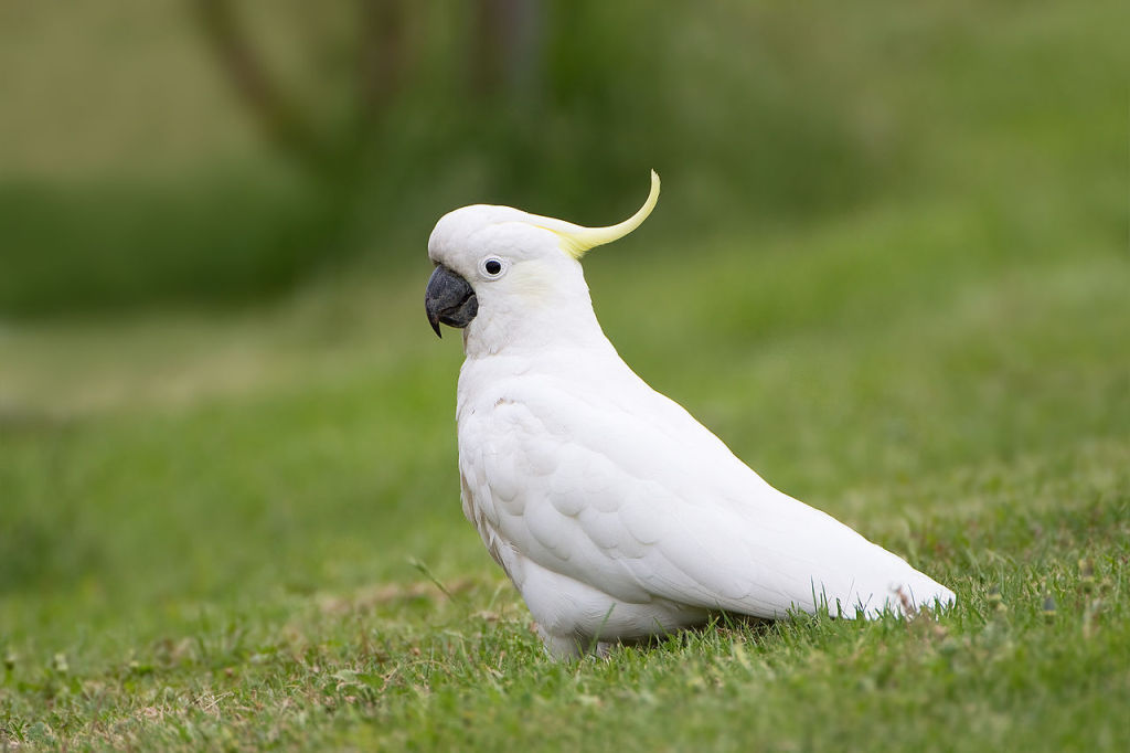 Sulphur Crested Cockatoo3
