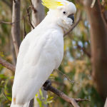 Sulphur Crested Cockatoo4