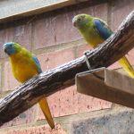 Turquoise Parrot Parakeet