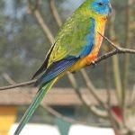 Turquoise Parrot Parakeet2