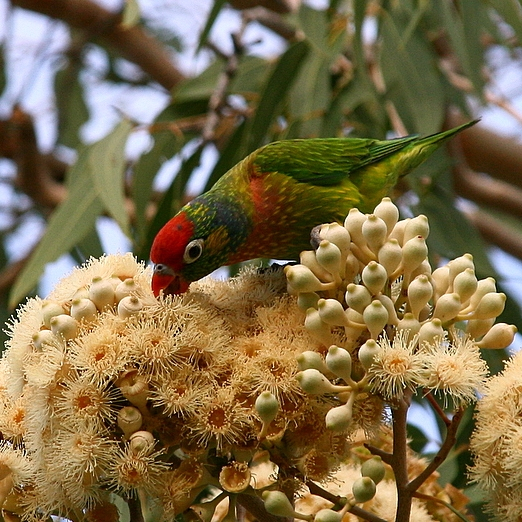Varied Lory Lorikeet