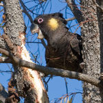 Yellow Tail Black Cockatoo3