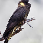 Yellow Tail Black Cockatoo4