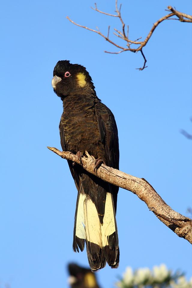 Yellow Tail Black Cockatoo5