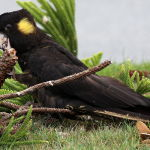 Yellow Tail Black Cockatoo6