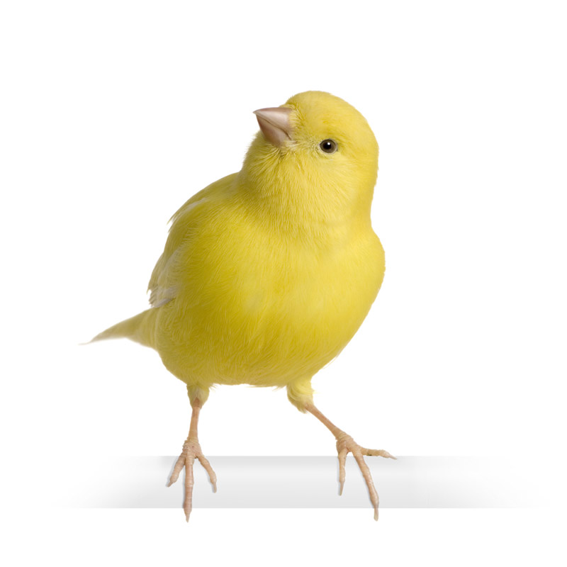 canary3